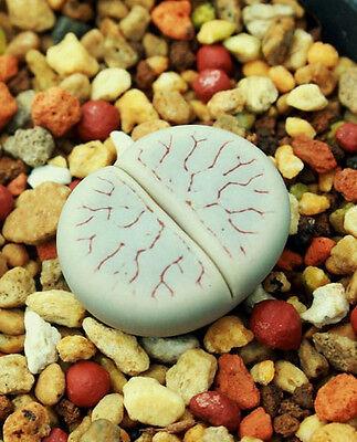 Lithops dorotheae Zorro exotic living stone rock ice peable cacti seed 50 SEEDS