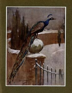 PEACOCK 1908 DISPLAYABLE ANTIQUE COLOR PRINT, GABRIEL JUNKS, DECORATIVE PEACOCK