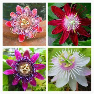 100pcs-Passionsblume-Samen-Garten-Rare-Passiflora-Incarnata-Obst-Pflanzen-S-L9M5
