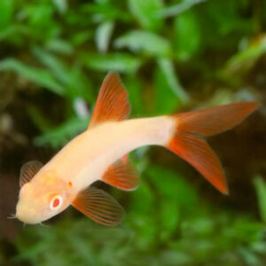 Albino Rainbow Shark Epalzeorhynchos Frenatum Live Tropical Fish Aquarium Tank Ebay