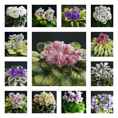 10 Fogli Mia Elezione/10 Leaves Of My Choice Usambaraveilchen African Violet-en African Violet It-it Prestazioni Affidabili