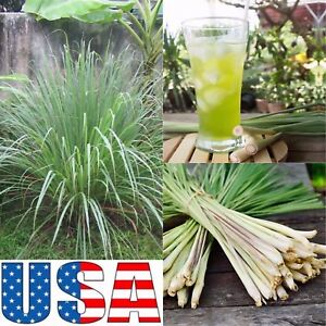 Grow-Your-Own-Thai-Lemon-Grass-100-200-300-400-Seeds-034-034-Heirloom-Non-GMO-034-034