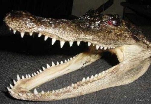 "REAL 9/"" GATOR HEAD OFF 4/' FLORIDA AMERICAN ALLIGATOR skull  teeth AUTHENTIC"