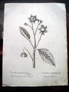 1824-BOTANICA-INCISIONE-DI-GOLDONI-FIORE-COURATARI-GUYANA-DEL-SENESE-FELICIATI