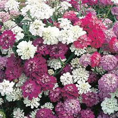 Candytuft, Dwarf Fairy Mix Seeds, 50+,Beautiful Pink, Lavender, White Flowers.