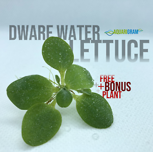 12-foglia-di-lattuga-d-039-acqua-Nano-bonus-gratuito-vegetale-pianta-galleggiante-per-acquario