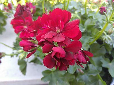 "IVY GERANIUM - GLOBAL DARK RED - 2 PLANTS - 4"" POT - LIVE PLANTS"