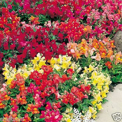 Snapdragon Mixed  Flower 50 Seeds -SF 526- (Y+Red +O+Pink+W) + Free Fungicite