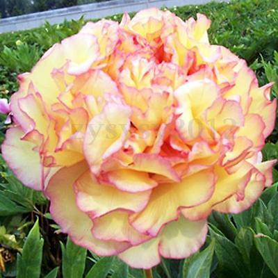 20Pcs Flower Peony Seeds Golden Pavilion Chinese Rare Paeonia Garden Plant