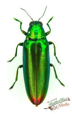 Metallic red frog beetle Sagra laticollis SET x1 Papua New Guinea lovely 0JW
