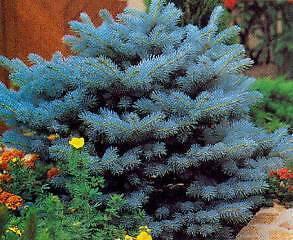 seed Pino azul del Colorado ideal JARDIN  30 semillas