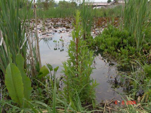 2x Wollgras im Gärtnertopf einheimische Teichpflanze