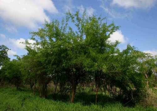 25  Dalbergia melanoxylon Seeds African Blackwood Seeds
