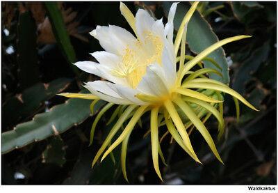 GIANT White Epiphyllum Hylocereus Orchid Cactus Huge Flower 2 CUTTINGS