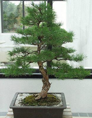 River Oak Tree Bonsai Casuarina Cunninghamiana 200 Seeds Ebay