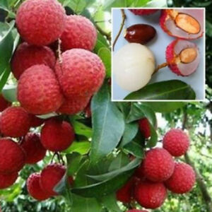10pcs-Fresh-Lychee-Litchi-Seeds-Rare-Delicious-Sweet-Seasonal-Fruit-Tree-Bonsai