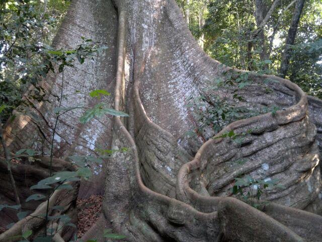 Ceiba pentandra - Kapok / Silk Cotton Tree - Rare Tropical Plant Tree Seeds (20)