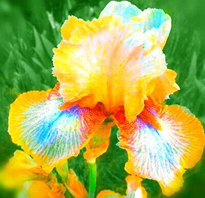 2 Iris Bulbs Perennial Fragrant Flower Impressive Resistant
