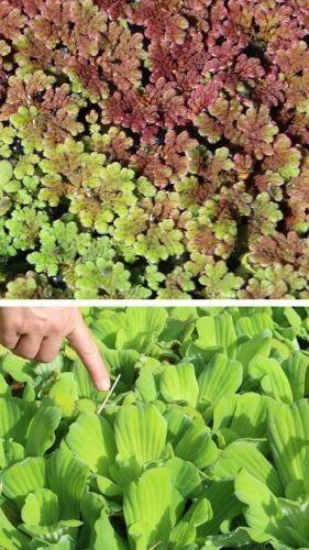 Schwimmpflanzen für den Teich gegen Überhitzung Filter Sauerstoff gegen Algen