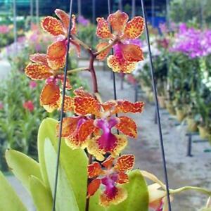 Rare-orchid-hybrid-seedling-Oncidium-noel-schamrock-x-josephine-x-noorah