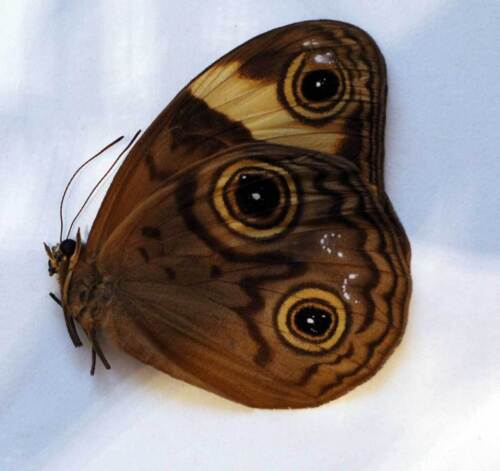 MORPHOPSIS BIAKENSIS unmounted butterfly