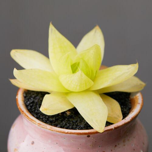 8cm Succulent live Plant Echeveria Haworthia cymbiformis Home Garden Rare Grow