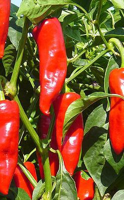 "Capsicum annuum hot chili seeds min 40 Samen Chili /""red demon/"""