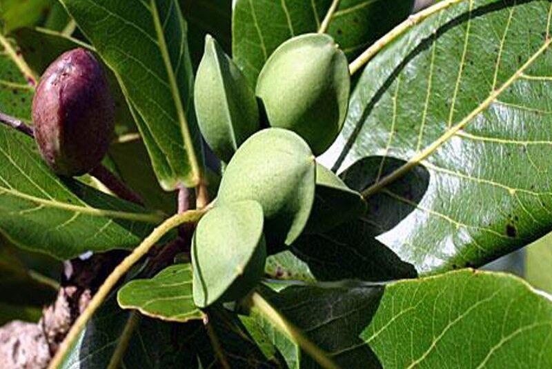 Preciosa Almendro Terminalia catappa indio Almond Sea hermoso árbol