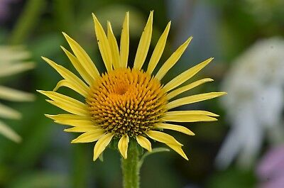 Echinacea Seeds - MAUI SHUNESHINE - Hybrid Coneflower - Deer Resistant- 15 Seeds