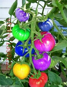 Rare Bonsai Rainbow Tomato 30 Seeds- High Productivity, imported Seeds