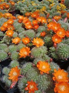 REBUTIA-PULVINOSA-ORANGE-SPECIAL-5-Clusters-for-25-Flowering-Cactus