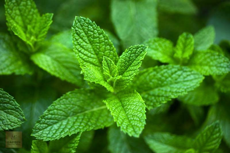 Herb - Peppermint 500 Seeds - Best Quality