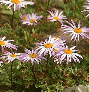 DENDRANTHEMA-WEYRICHII-WEYRICH-CHRYSANTHEMUM-60-seeds