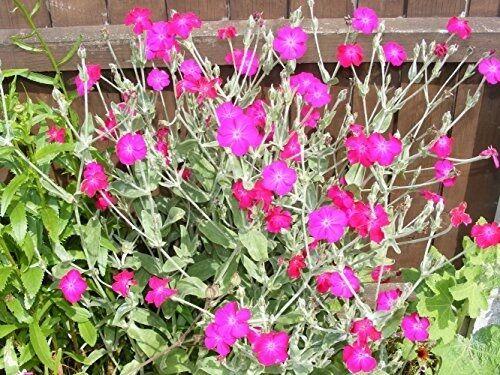 Agrostemma coronaria Atrosanguinea  FLOWER SEEDS  Rockeries and walls.