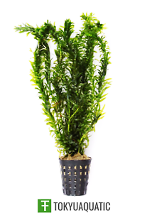 Anacharis-Elodea-Densa-Potted-Freshwater-Live-Aquarium-Tropical-Plant-Decorate
