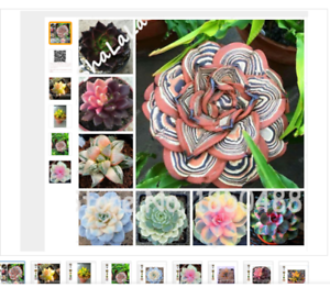 100-Garden-Greenhouse-Cactus-Seed-Rare-Succulent-Perennial-Herb-Plants-Bonsai