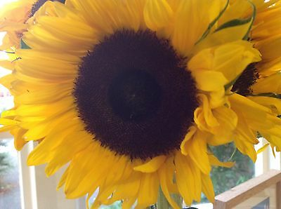 Flower - Sunflower - Giant Single Yellow - 300 Seeds