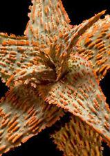ALOE HYBRID MIX exotic cultivar good color cacti rare cactus aloes seed 50 SEEDS