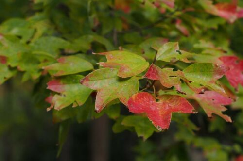 Acer Buergeranum Trident Maple Bonsai 50 Seeds