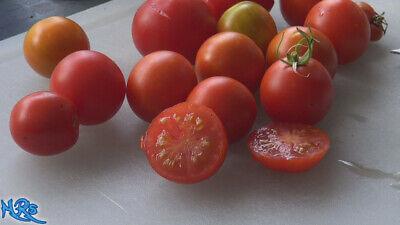 10 Seeds! Glacier Tomato