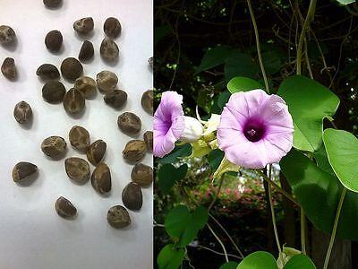 100 - 500 Samen Seeds grains semillas Argyreia nervosa - Hawaiianische Holzrose
