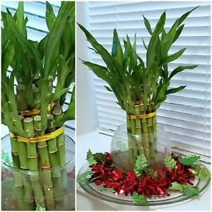 8-034-Lucky-Bamboo-6-Healthy-Plants-Gift-Feng-Shui-Water-or-Soil-Free-Shipping