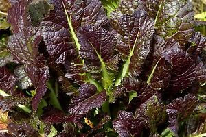 1000-Seeds-of-Mustard-BROWN-RED-GIANT-Mustard-d-039-Asie