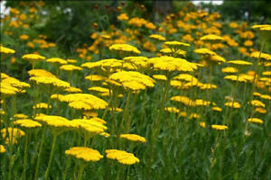50 Yarrow Achillea Cloth Of Gold Flower Seeds Perennial