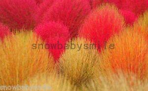 800+ Kochia Scoparia Seeds Red Summer Cypress Burning Bush Grass Heirloom Flower