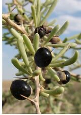 "Rare Black Goji Berry Plant 4"" Pot Fruit Black Wolfberry Self Fertile Healthy"