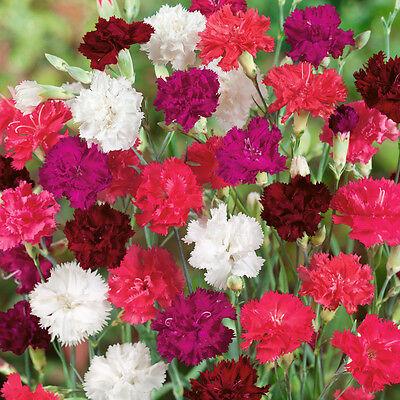 Best Dianthus Perennial Plants for Garden in 9cm Pot, Hardy Pinks