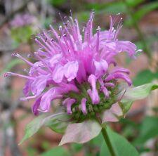 Bergamot / Bee Balm / Monarda fistulosa 250 seeds * herbs * CombSH B36