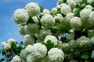 SNOWBALL VIBURNUM  LIVE BARE ROOT PLANT  PRIORITY SHIPPING!