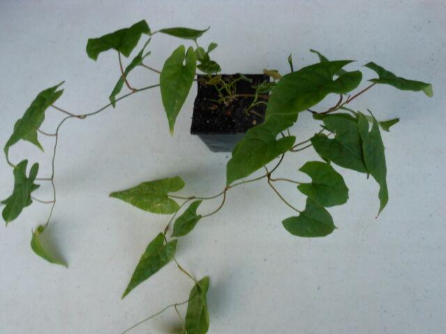 Fo-Ti (Polygonum multiflorum) plant